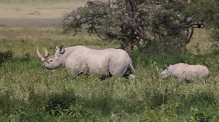 rhinocerotidae : Black Rhinoceros, diceros bicornis, Female with Calf walking, Nakuru Park in Kenya, Real Time
