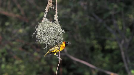 fészek : Spekes Weaver, ploceus spekei, Male near its Nest, Bogoria Park in Kenya, Real Time