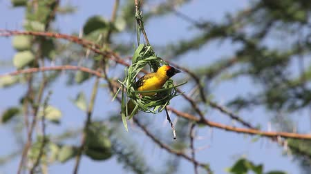 fészek : Village Weaver, ploceus cucullatus, Male working on Nest, Bogoria Park in Kenya, Real Time