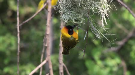 fészek : Spekes Weaver, ploceus spekei, Male standing on Nest, Bogoria Park in Kenya, Real Time Stock mozgókép