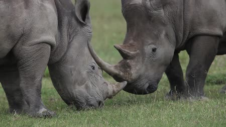 rhinocerotidae : White Rhinoceros, ceratotherium simum, Female with Young, Nakuru Park in Kenya, Real Time