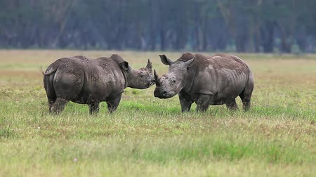 rhinocerotidae : White Rhinoceros, ceratotherium simum, Youngs fighting, Nakuru Park in Kenya, Real Time Stock Footage