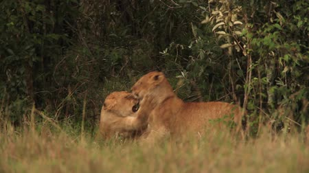 samburu : African Lion, panthera leo, Group standing near Bush, Cub playing, Samburu Park in Kenya, Real Time