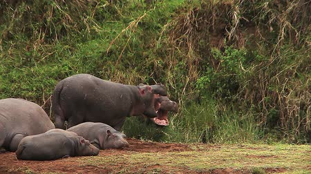 hippopotamidae : Hippopotamus, hippopotamus amphibius, Youngs sleeping and Adults with Open Mouth, Masai Mara Park in Kenya, Real Time