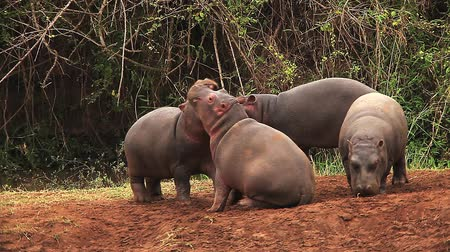 hippopotamidae : Hippopotamus, hippopotamus amphibius, Youngs playing, Masai Mara Park in Kenya, Real Time Stock Footage