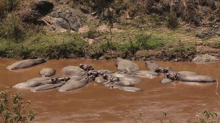 d day : Hippopotamus, hippopotamus amphibius, Adult sleeping in River, Masai Mara Park in Kenya, Real Time