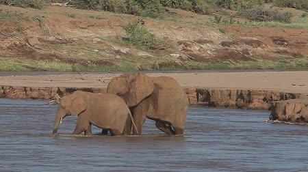 samburu : African Elephant, loxodonta africana, Adult and Calf crossing River, Spraying Water, Samburu Park in Kenya, Real Time