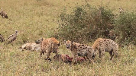 locomotion : Spotted Hyena, crocuta crocuta, Group on a Kill, Eating a Wildebeest, Masai Mara Park in Kenya, Real Time Stock Footage