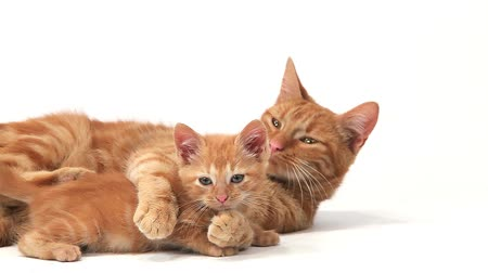 domestic short haired : Red Tabby Domestic Cat, Female with Kitten against White Background, Slow motion