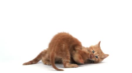 domestic short haired : Red Tabby Domestic Cat, Kittens playing against White Background, Slow motion Stock Footage