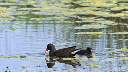 locomotion : Common Moorhen or European Moorhen, gallinula chloropus, Adult with Chick looking for Fod, Pond in Normandy, Real Time