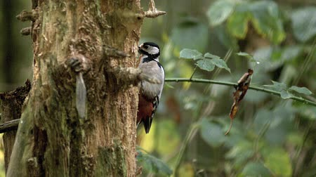 picidae : Great Spotted Woodpecker, dendrocopos major, Adult Looking for Food in Bark Tree, Normandy in France, Real Time