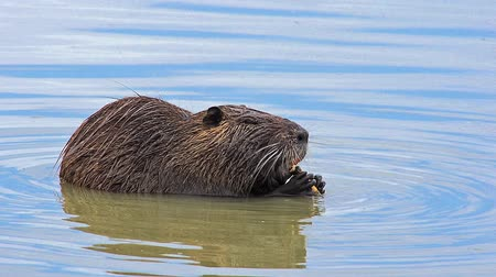 myocastor : Nutria, myocastor coypus, Adult eating Bark of Branch, Camargue in the South East of France, Real Time
