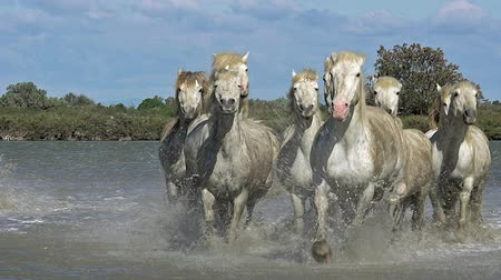 fãs : Camargue Horse, Herd Trotting through Swamp, Saintes Marie de la Mer in The South of France, Real Time