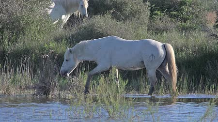fãs : Camargue Horse, Stallion walking through Swamp, Saintes Marie de la Mer in The South of France, Real Time