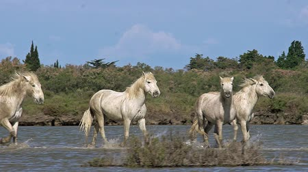 d day : Camargue Horse, Herd walking through Swamp, Saintes Marie de la Mer in The South of France, Real Time