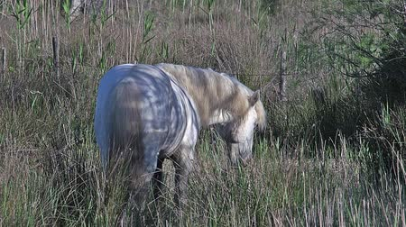 fãs : Camargue Horse, Stallion eating Grass in Swamp, Saintes Marie de la Mer in The South of France, Real Time Stock Footage