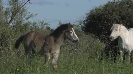 fãs : Camargue Horse, Mare and Foal, Saintes Marie de la Mer in The South of France, Real Time Stock Footage