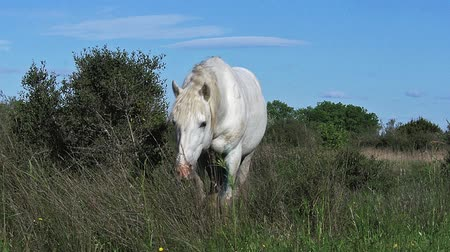 fãs : Camargue Horse, Saintes Marie de la Mer in The South of France, Real Time