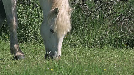 locomotion : Camargue Horse, Mare eating Grass, Saintes Marie de la Mer in The South of France, Real Time Stock Footage