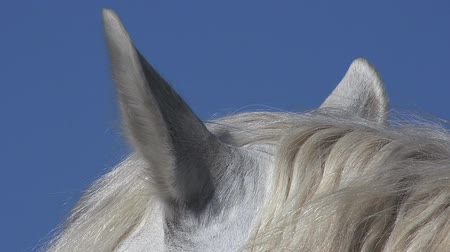 fãs : Camargue Horse, Close up of Ears, Saintes Marie de la Mer in The South of France, Real Time Stock Footage