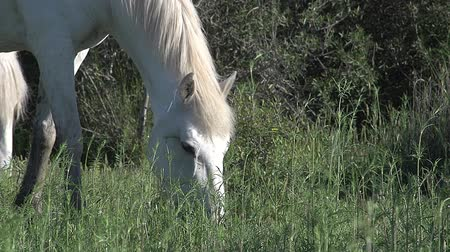 d day : Camargue Horse, Mare eating Grass, Saintes Marie de la Mer in The South of France, Real Time Stock Footage