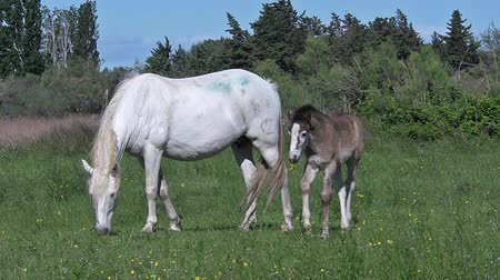 locomotion : Camargue Horse, Mare and Foal, Saintes Marie de la Mer in The South of France, Real Time Stock Footage