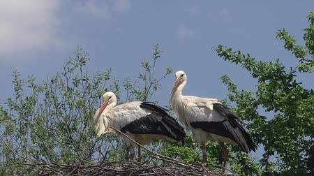 ciconiidae : White Stork, ciconia ciconia, Pair standing on Nest, Alsace in France, Real Time
