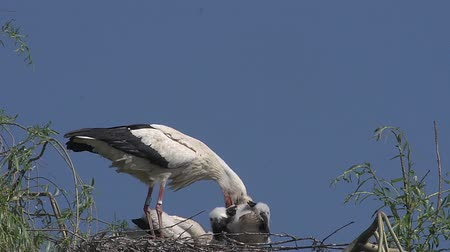ciconiidae : White Stork, ciconia ciconia, Adult Feeding Chicks on Nest, Alsace in France, Real Time Stock Footage