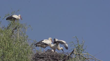 ciconiidae : White Stork, ciconia ciconia, Chick flapping Wings on Nest, Alsace in France, Real Time