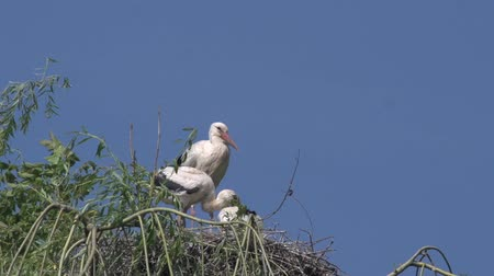 ciconiidae : White Stork, ciconia ciconia, Adult and Chicks standing on Nest, Alsace in France, Real Time Stock Footage