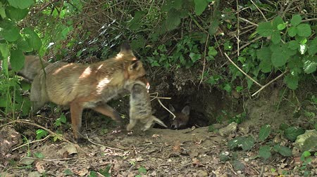 fãs : Red Fox, vulpes vulpes, Mother with a Kill, a Rabbit to Feed Cubs, Normandy, Real Time