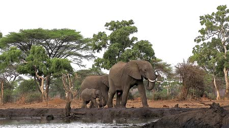 locomotion : African Elephant, loxodonta africana, Female with youngs near Chobe River, Botswana, Real Time