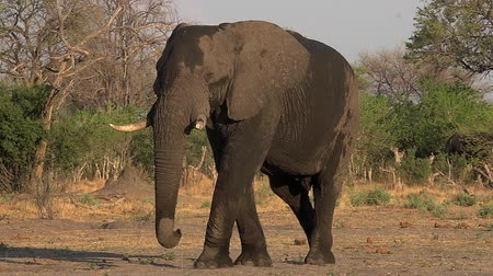 locomotion : African Elephant, loxodonta africana, Male walking, Moremi Reserve, Okavango Delta in Botswana, Real Time Stock Footage