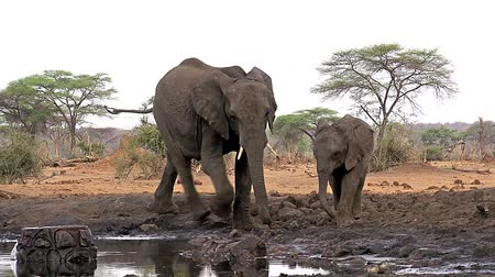 fãs : African Elephant, loxodonta africana, Female and Calf drinking water at Waterhole, Near Chobe River, Botswana, Real Time