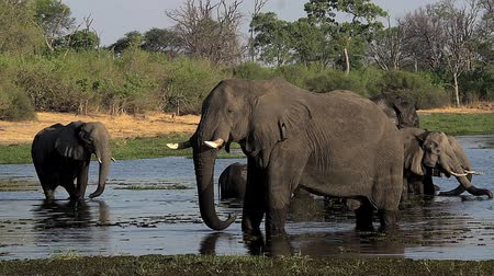 fãs : African Elephant, loxodonta africana, Group drinking water at Khwai River, Moremi Reserve, Okavango Delta in Botswana, Real Time