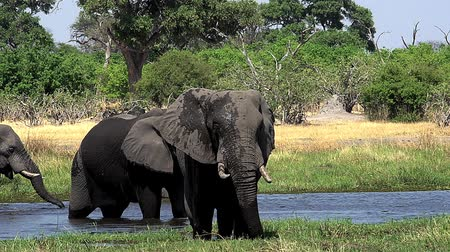 locomotion : African Elephant, loxodonta africana, Group standing in Khwai River, Moremi Reserve, Okavango Delta in Botswana, Real Time