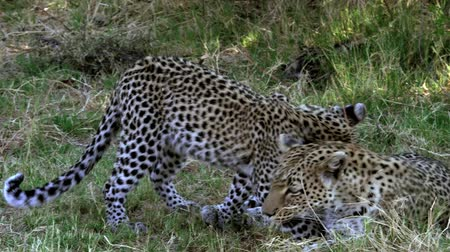 leopard cat : Leopard, panthera pardus, Mother with Cub, Moremi Reserve, Okavango Delta in Botswana, Slow Motion