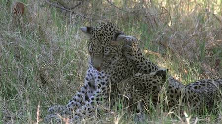leopard cat : Leopard, panthera pardus, Mother Playing with Cub, Moremi Reserve, Okavango Delta in Botswana, Slow Motion
