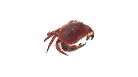 cancer pagurus : Edible Crab, cancer pagurus against White Background, Real Time 4K, Moving Image