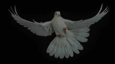 gołąbki : White Dove, columba livia, Adult in Flight against Black Background, Real Time 4K, Moving image