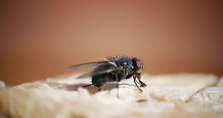 diptera : Fly standing on a Piece of Meet, Normandy, Real Time 4K