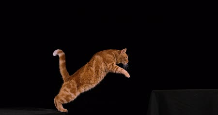 domestic short haired : Red Tabby Domestic Cat, Adult Leaping against Black Background, Slow motion 4K