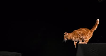 locomotion : Red Tabby Domestic Cat, Adult Leaping against Black Background, Slow motion 4K