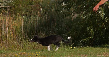 colley : Border Collie Dog, Young Male Running on Grass, Normandie, Motiion lent 4K