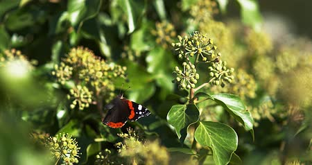 diurnal : Red admiral, vanessa atalanta, Butterfly in flight, Taking off from Ivy, Hedera helix, Slow Motion 4K