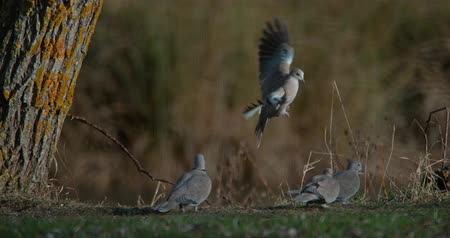 collared : Collared Dove, streptopelia decaocto, Adult in Flight, Group standing on Grass, Normandy in France, 4K