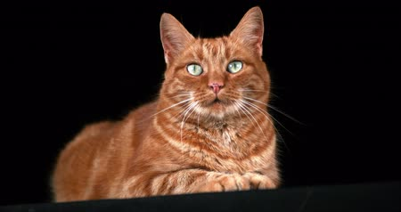 domestic short haired : Red Tabby Domestic Cat, Adult Laying against Black Background, Real Time 4K Stock Footage