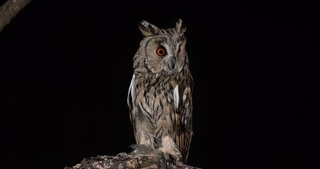 uiltje : Long Eared Owl, Asio Otus, Volwassene, Normandië in Frankrijk, Real Time 4K Stockvideo