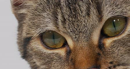 kimse : Brown Tabby Domestic Cat on White Background, Close-up of Eyes, Real Time 4K